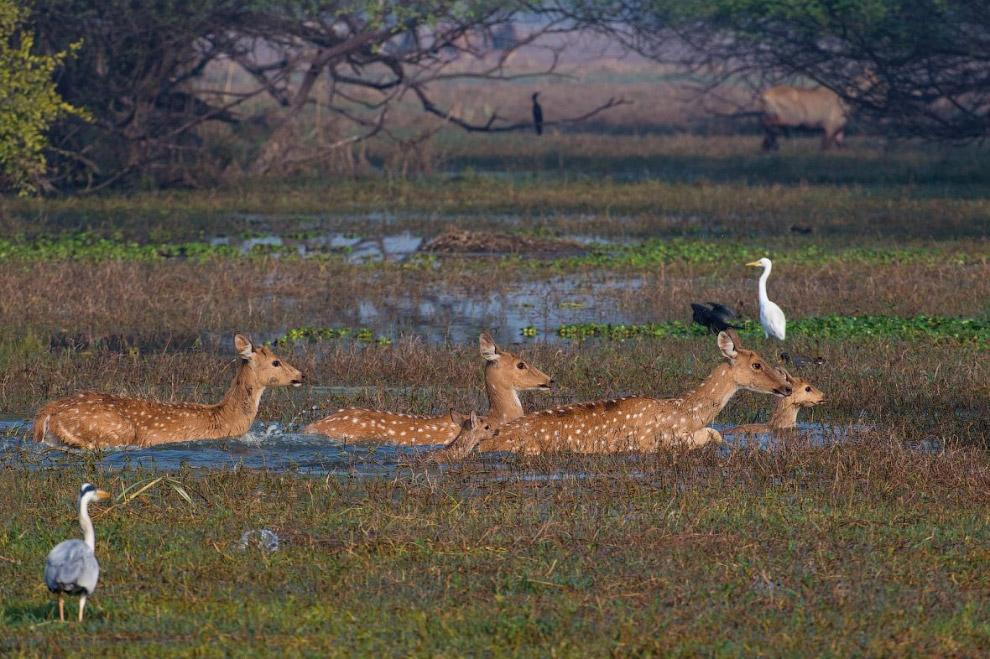 Серый пеликаны. Эти птицы обитают преимущественно на мелководных озёрах.