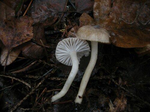 Гигрофор пупырчатый (Hygrophorus pustulatus). В ельнике даже в середине ноября встречались в изобилии Автор фото: Станислав Кривошеев