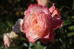 345.JPG Солнечная роза.