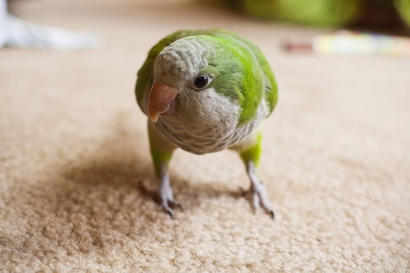 7. Попугай Вилли   Двухлетняя Ханна Кууск могла задохнуться, если бы не попугай Вилли.  Ме