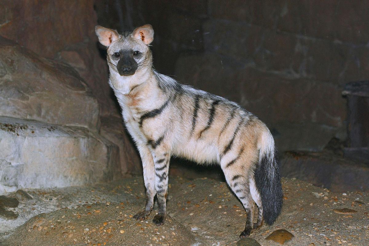 Выбран самый симпатичный хищник на Земле — Ардвулф