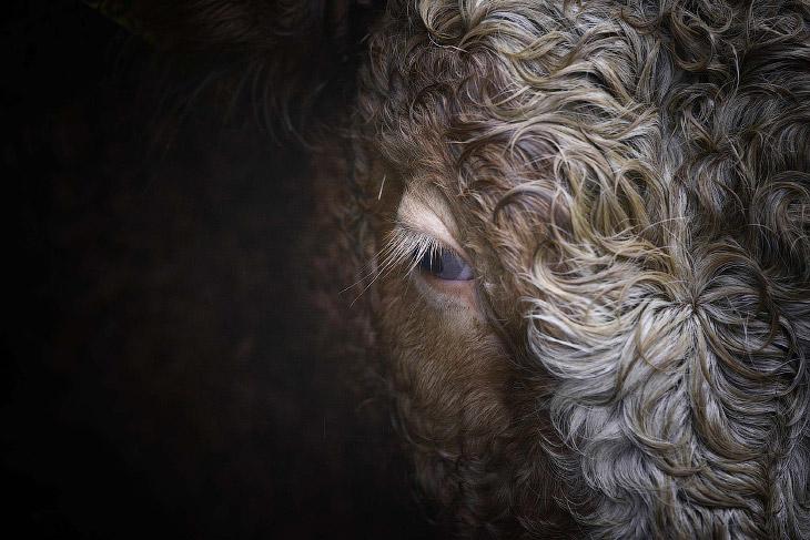 1. Не доволен блюдом. Обед из брюссельской капусты для белого носорога по кличке Дозер. Белый носоро