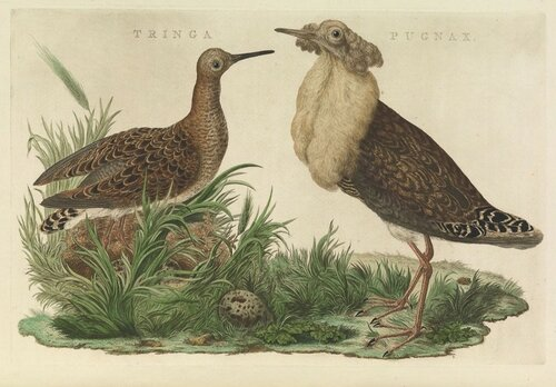 Турухтан in Nederlandsche Vogelen (en Dutch Birds), Vol. 1 (1770).jpg