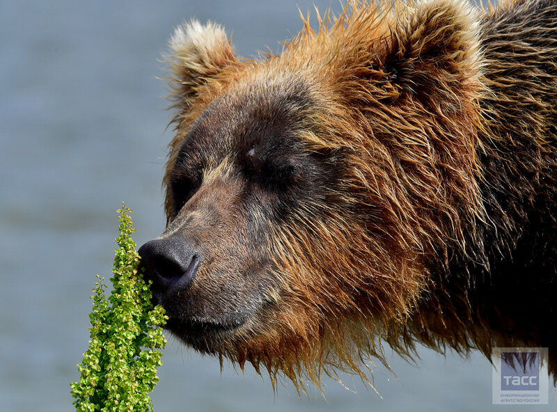 Медвежья рыбалка на Курильском озере. Камчатка.