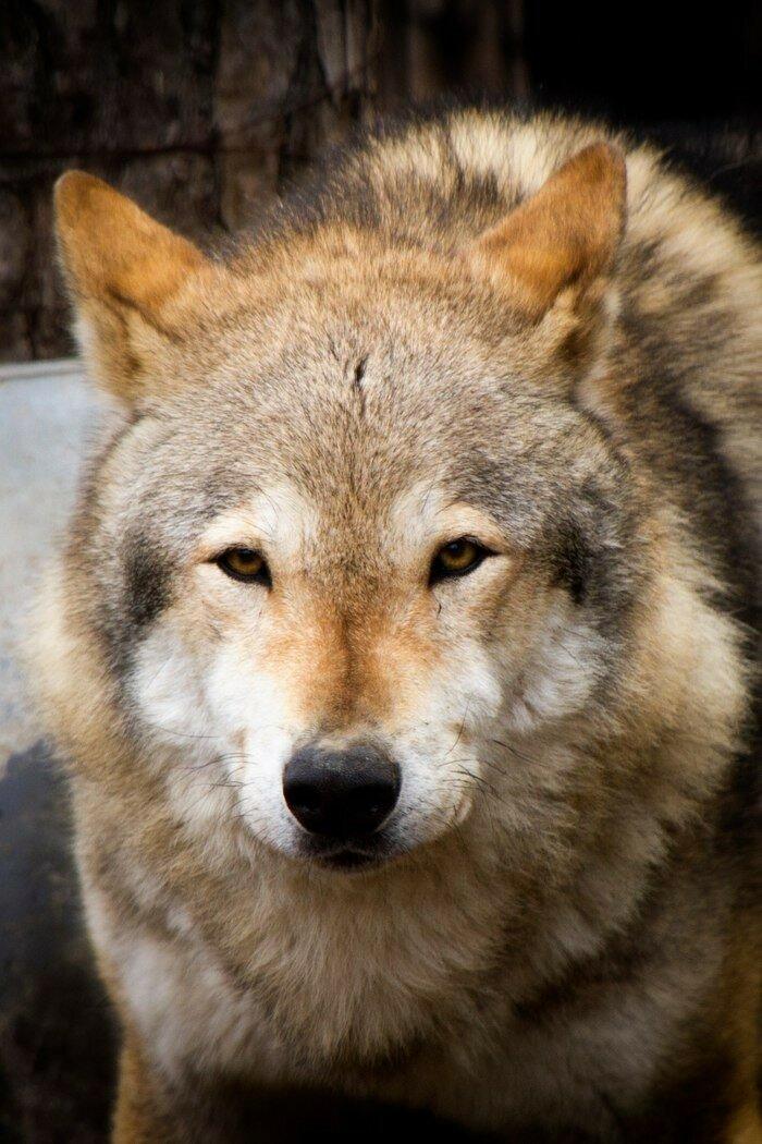 Шерстяные волчары Челябинского зоопарка
