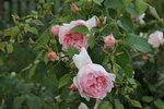 IMG_5739.JPG   роза кустарниковая Зе Веджвуд роуз (The Wedgwood Rose ) Austin, 2009