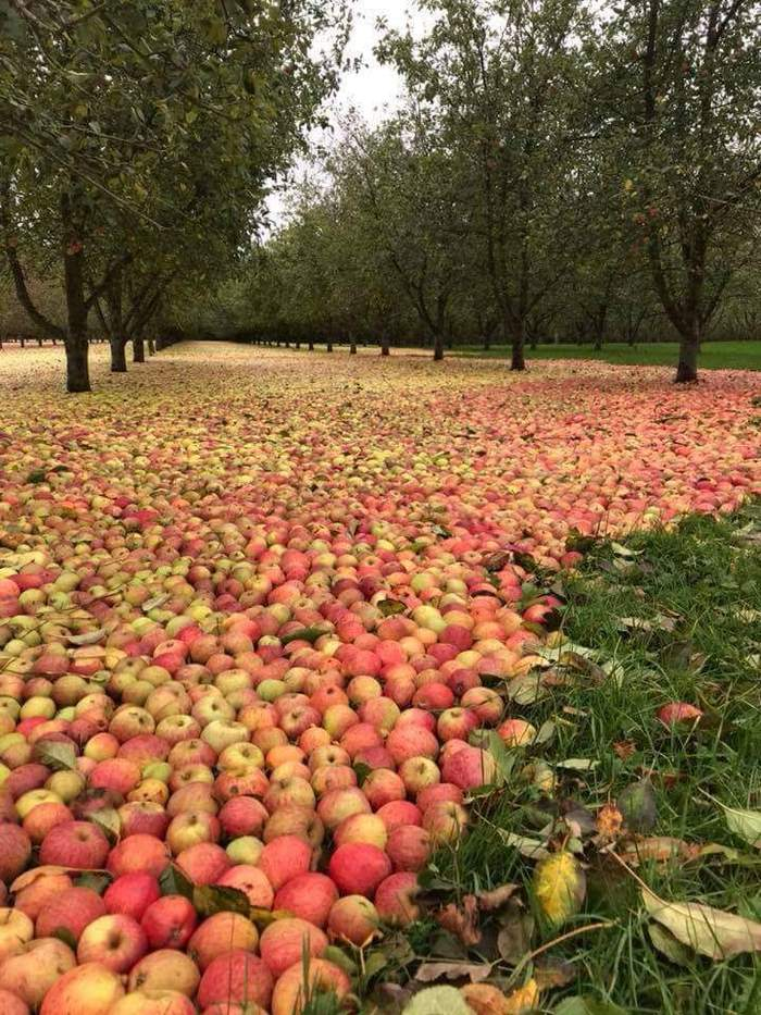 Яблочный сад после урагана Офелия в Ирландии.