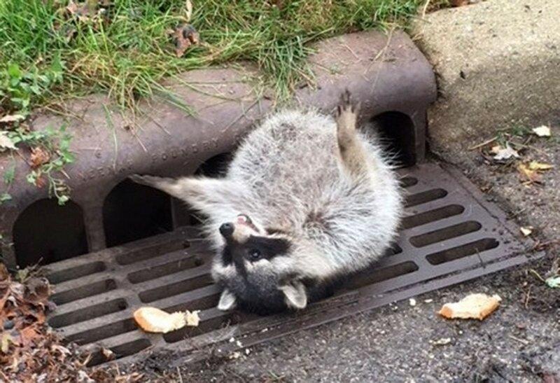 Упитанный енот застрял в решётке канализации