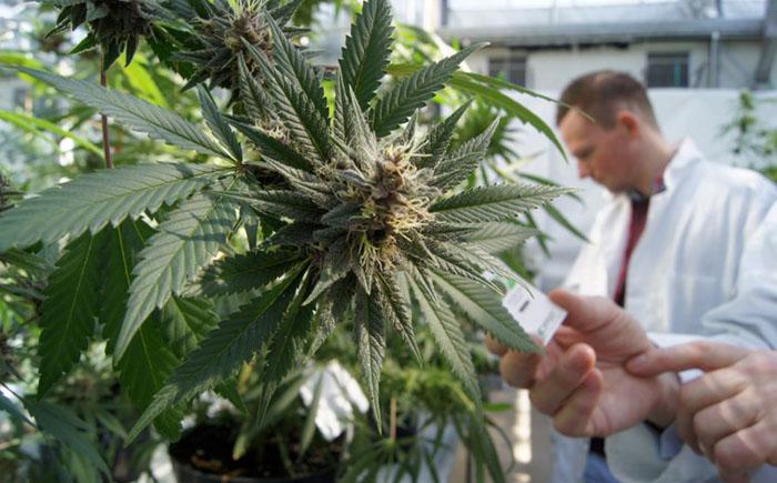 Недуги, которые можно вылечить марихуаной