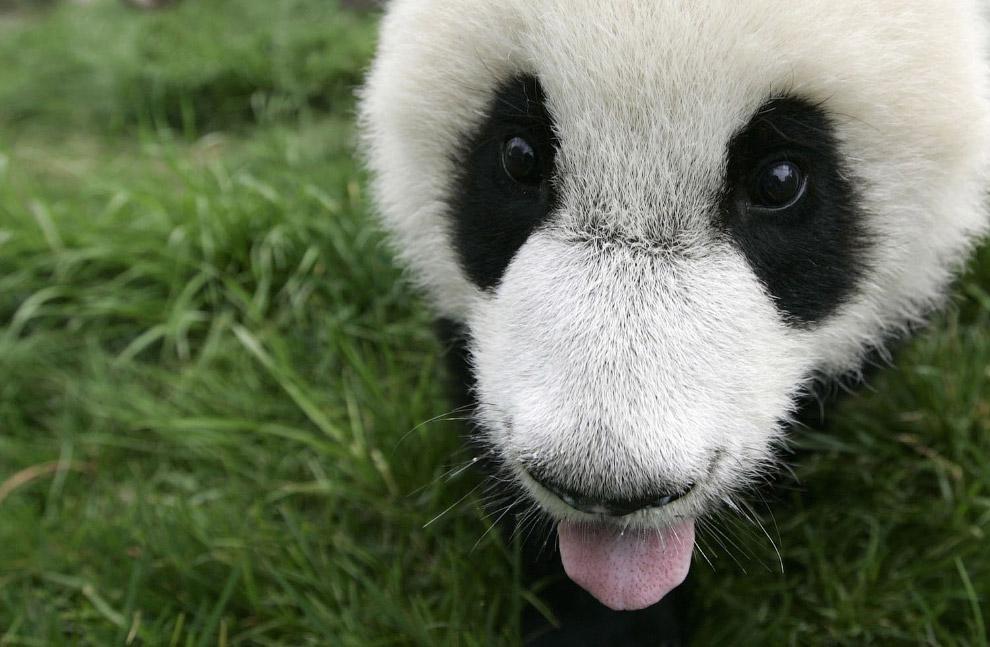 15. Исследователи, одетые в костюмы панды, несут короб с пандой в новое место её обитания. Даже коро