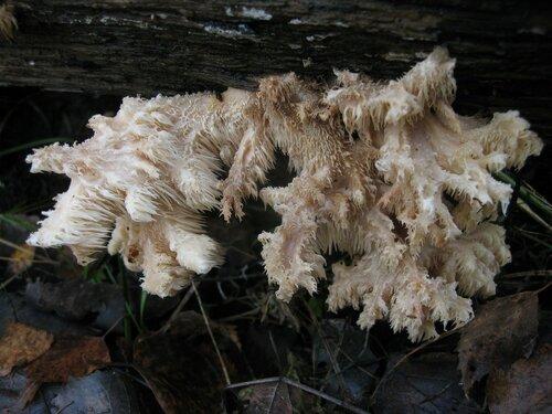 Ежовик коралловидный (Hericium coralloides). В этом году их видел довольно много Автор фото: Станислав Кривошеев