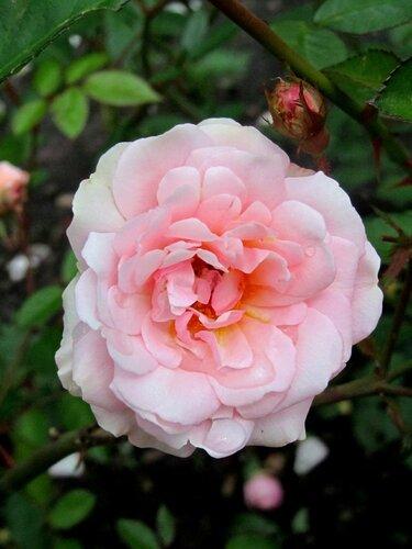 Розы в осени