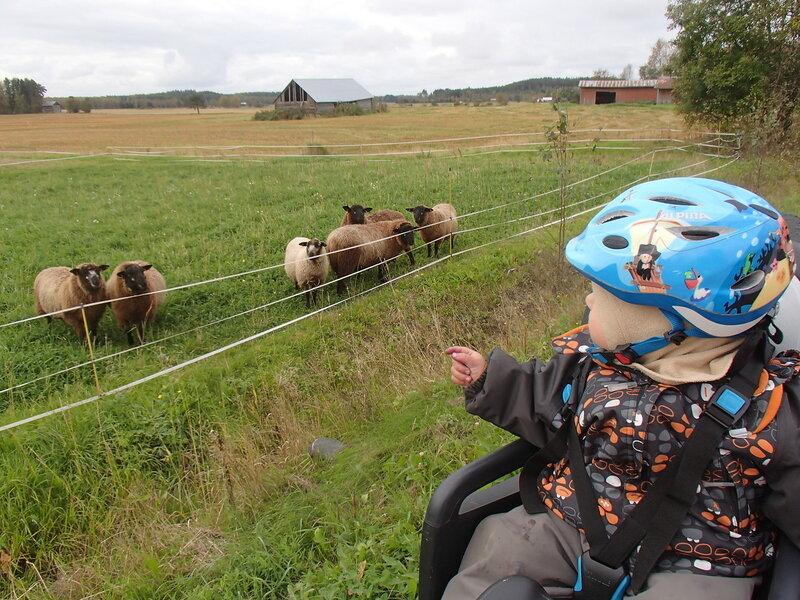 ребенок в велокресле смотрит на овечек