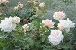 IMG_5050.JPG  роза чайно-гибридная  Grand Mogul Delbard-Chabert Франция, 1965