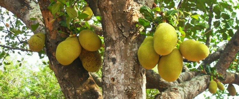 Фото 4 - плоды хлебного дерева.jpg