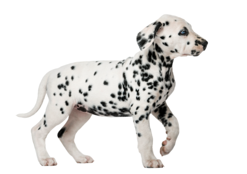 Dalmatian puppy with heterochromia walking in front of a white b