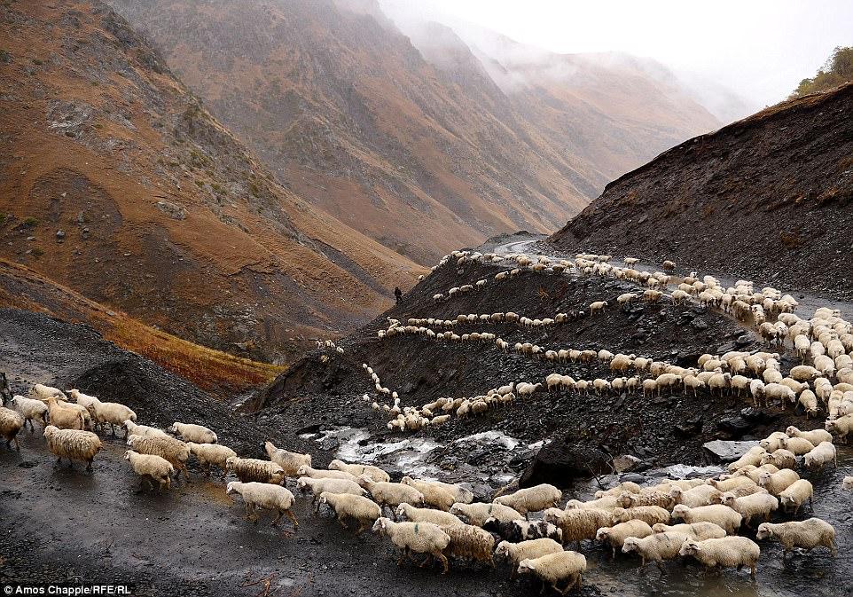 Каждый год тысячи овец в Грузии совершают опасный путь с гор высотой 3000 метров (28 фото)