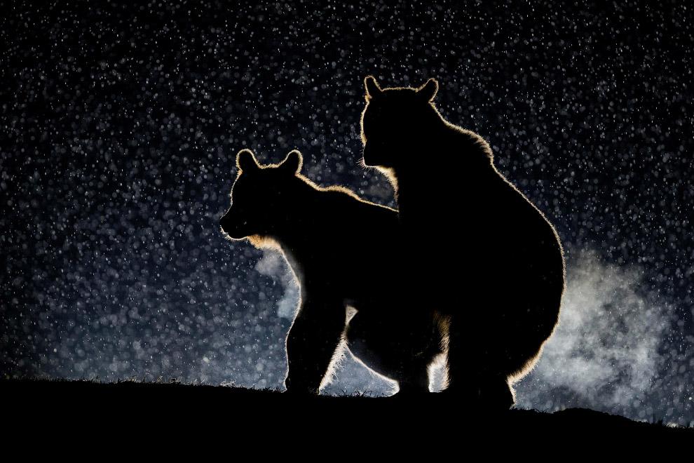 22. Привет, братаны. Барибал в Канаде. (Фото Chris Martin | Comedy Wildlife Photography Awards):