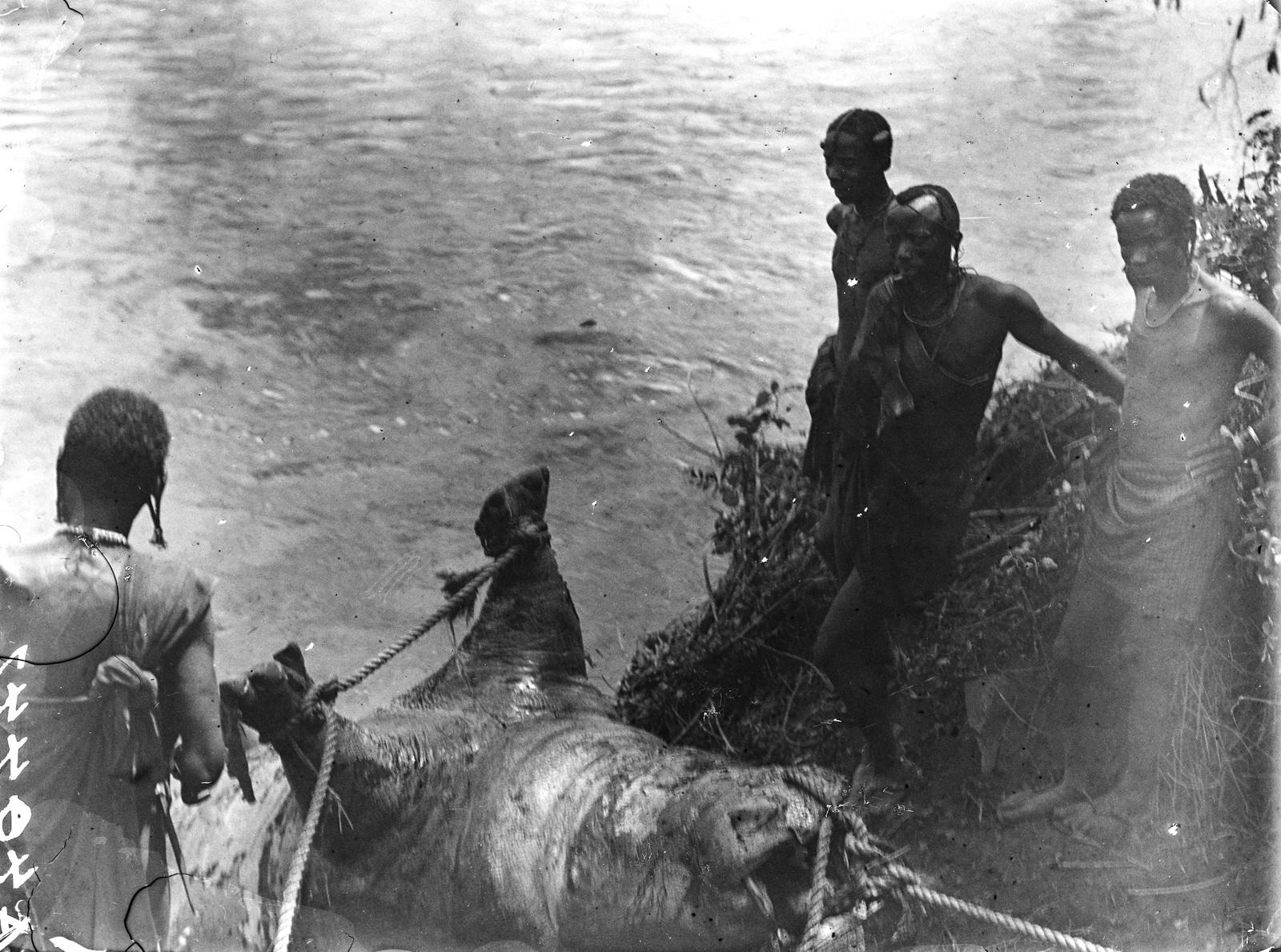 152. Четверо мужчин доробо перетаскивают пойманного бегемота из реки Руву
