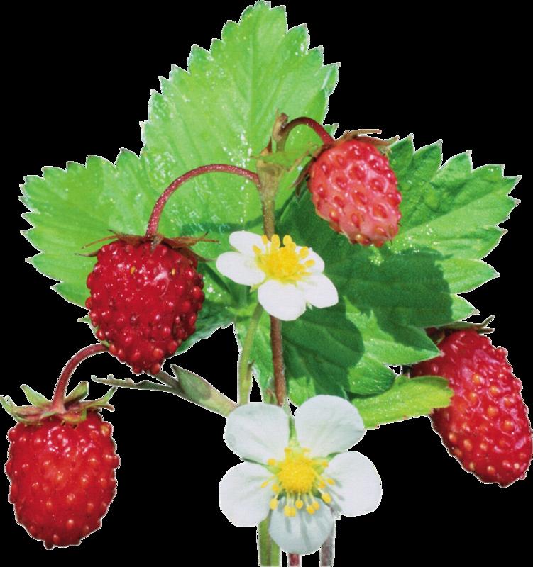 Картинка ягод лесных на прозрачном фоне
