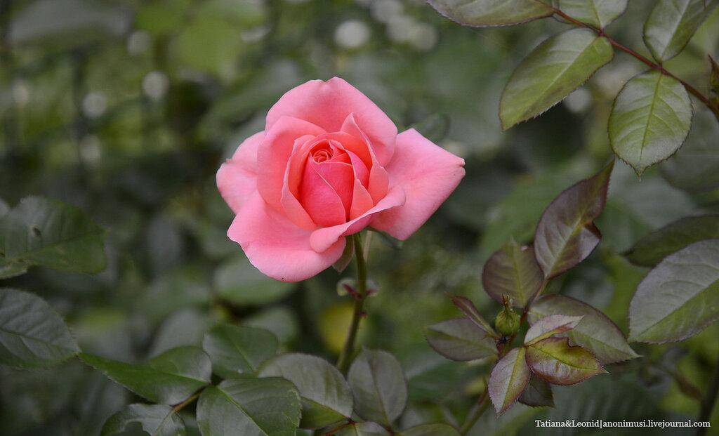Розовый сад на Петршине. Прага