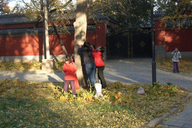 Китайцы, собирающие плоды гинкго