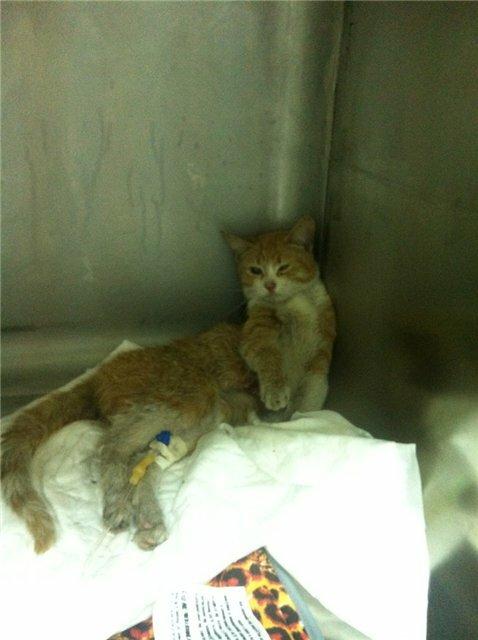 Кошка до операции