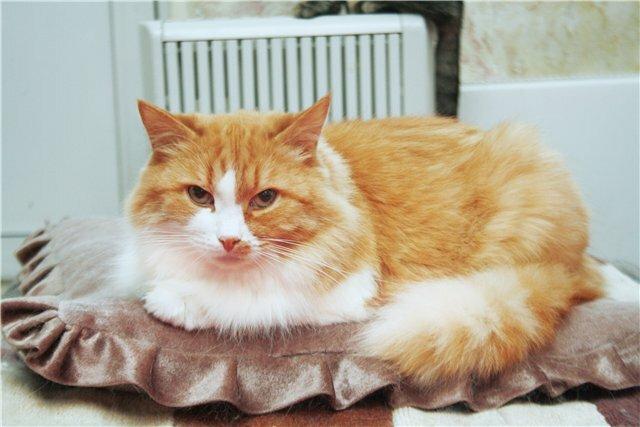 Кошка 2 (Рыжка) за несколько дней до ...