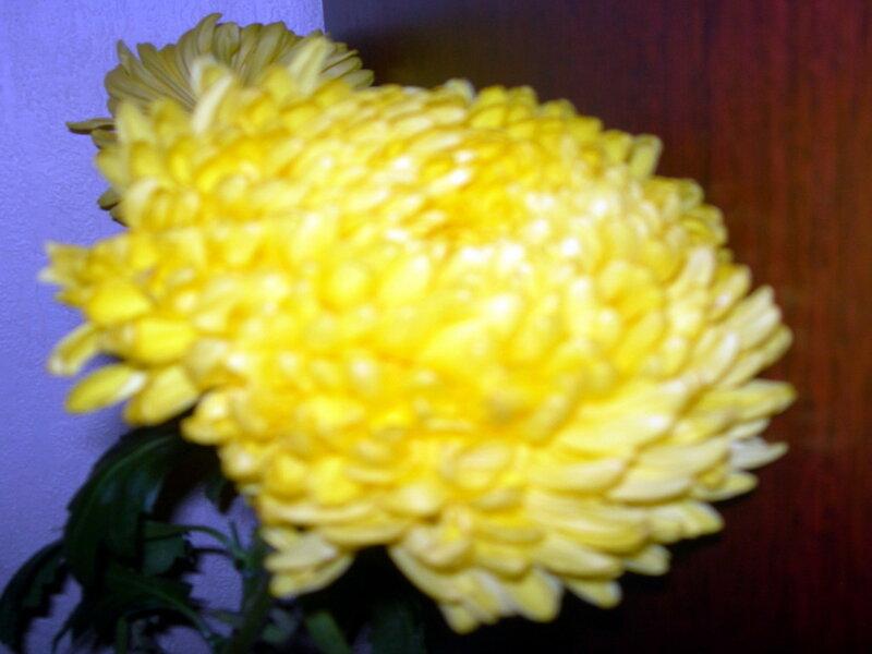 Фотография : Желтая хризантема, фотограф Апарышев, день рождения, поздравление, цветок, цветы, юбилей, фотография, фото, flows, фотки.