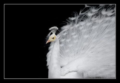 Павлин альбинос