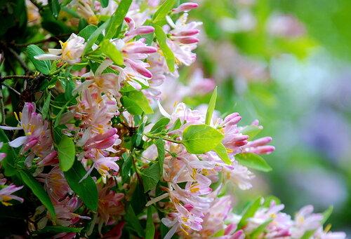 Цветение жимолости в саду