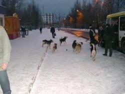 Факты отстрела собак в Пскове с помощью «летающих» шприцев