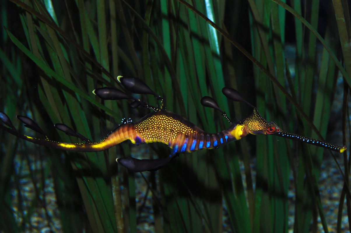 Common seadragon (Weedy Seadragon)
