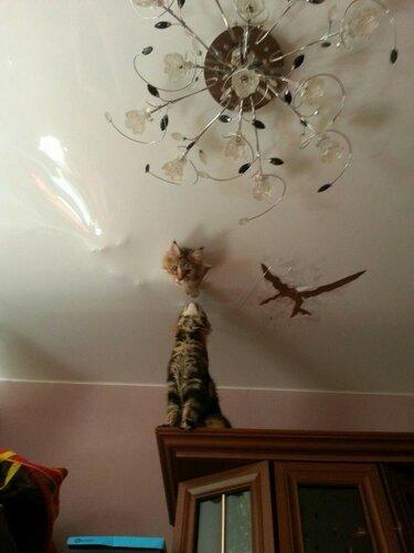 Кот и натяжной потолок.jpg