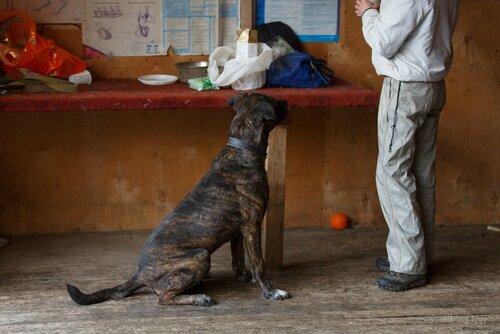 Собака тайсон из приюта догпорта фото