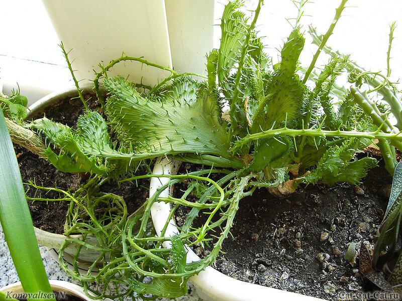 Euphorbia flanaganii, эуфорбия голова медузы горгоны