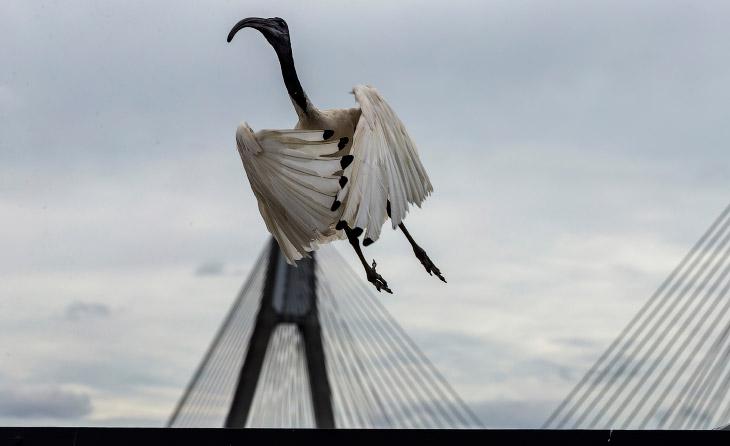 Ибисы — местные «голуби» Сиднея (17 фото)