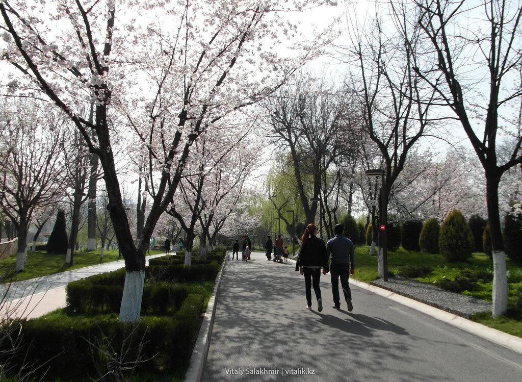 Цветущие деревья в парке Бабура, Ташкент