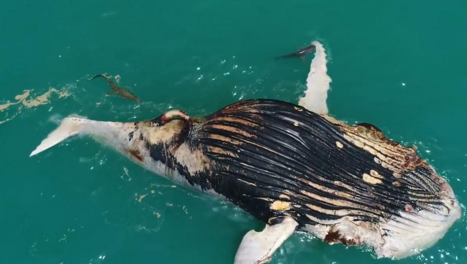 Акулы и крокодил пируют возле туши мертвого кита