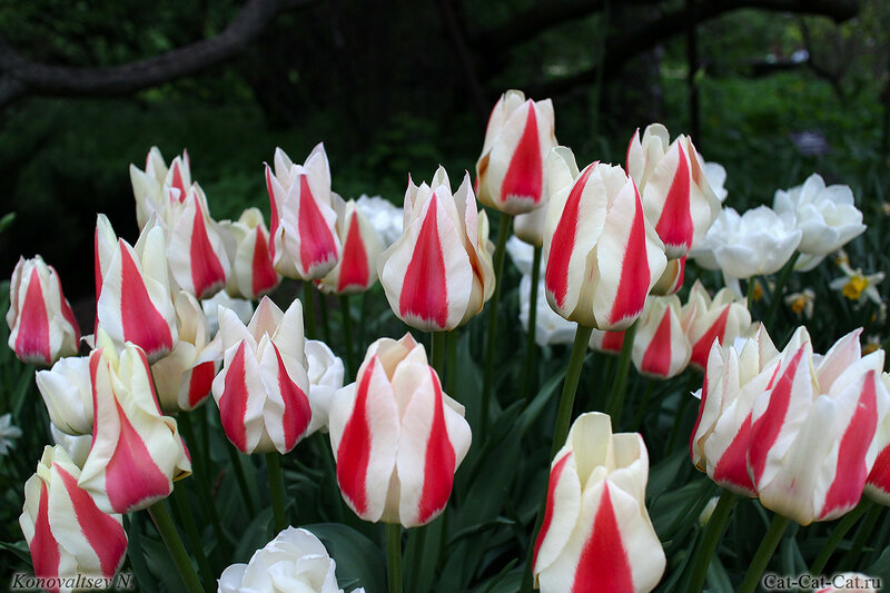 тюльпан Tulipa greigii Diablo