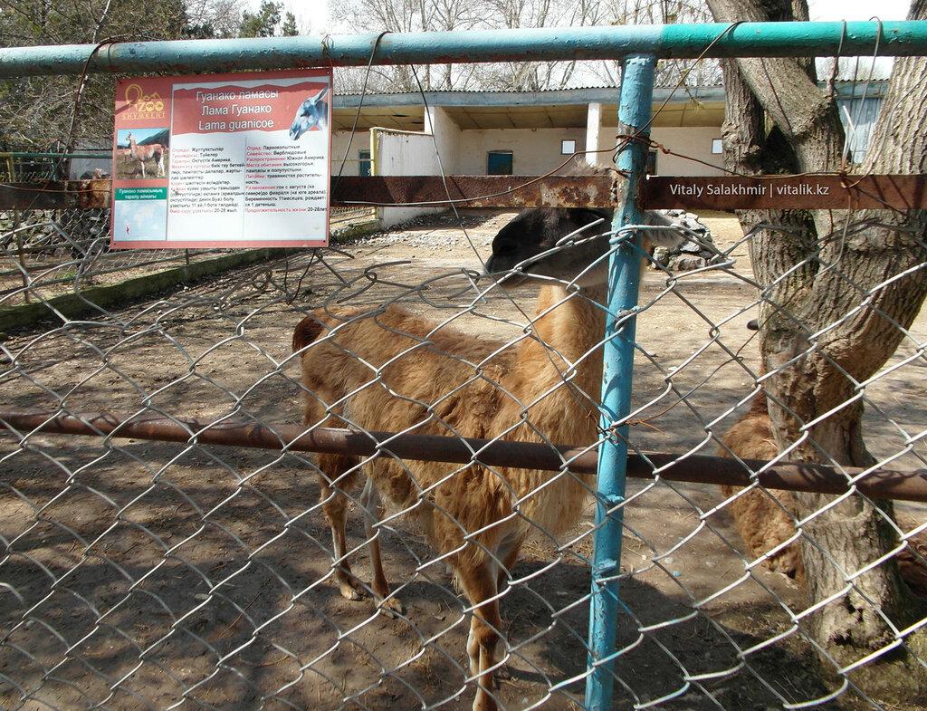 Лама в зоопарке Шымкента