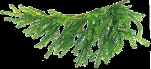 еловая ветвь