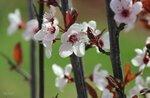 Вишнёвая весна...
