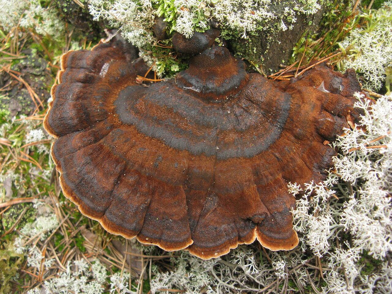 Трутовик смолистый (Ischnoderma benzoinum). Автор фото: Станислав Кривошеев