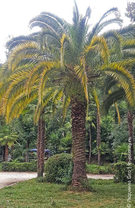 пальма в Абхазии