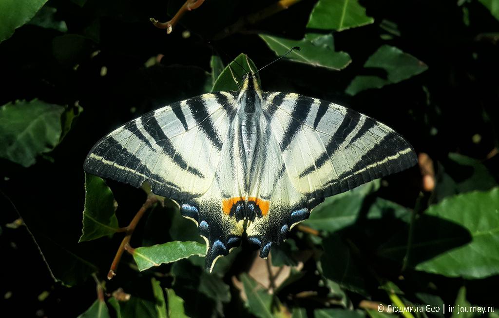 бабочка в Абхазии