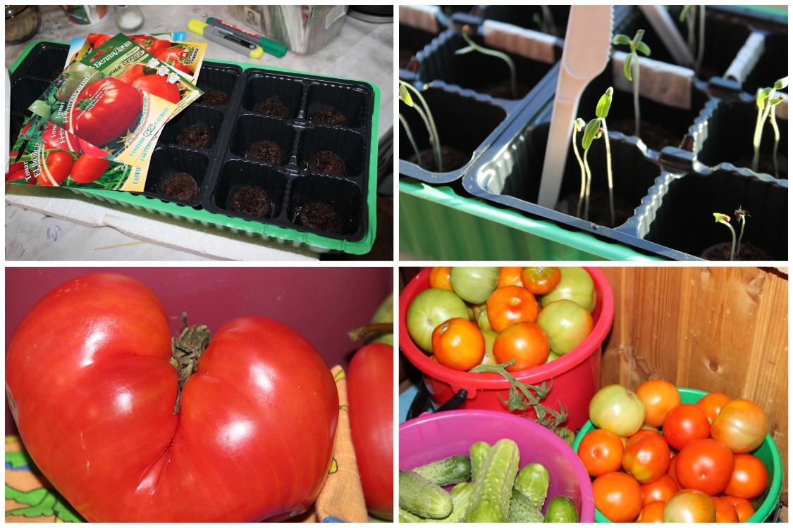 Еще один подробный способ выращивания помидоров