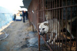 Собаки сидят в клетке на мясной ферме в городе Вонджу, Южная Корея. 10 января 2017 года волонтеры спасли около 200 собак, которые предназначались для продажи и употребления в пищу. Фото: Kim Hong-Ji / Reuters    SOUTHKOREA-DOGS/RESCUE