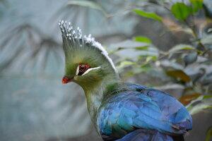 Птица Турако