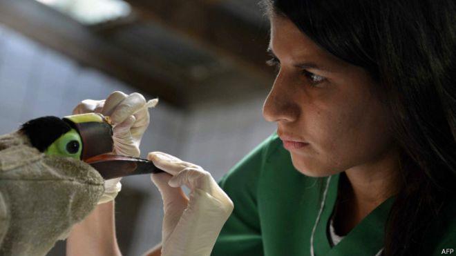 Тукану напечатали новый клюв на 3D-принтере, после того, как над ним жестоко поиздевались подростки